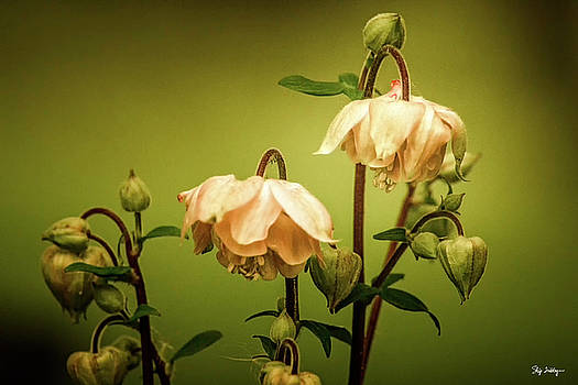 Columbines in Summer by Skip Tribby