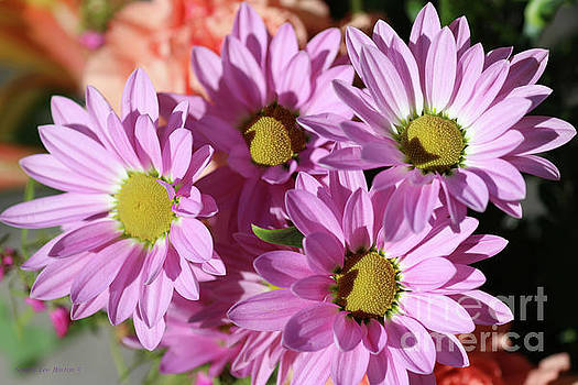 Sandra Huston - Comet Pink Daisies
