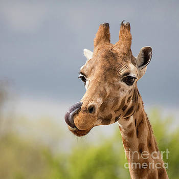 Comical giraffe with his tongue out.  by Jane Rix