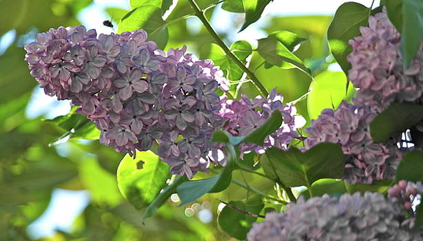 Coming in for a Lilac Landing by Michele Myers