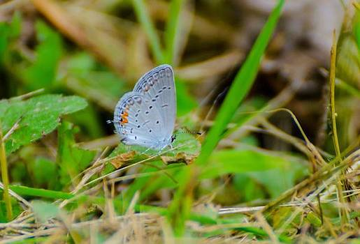 Common blue by David Tennis
