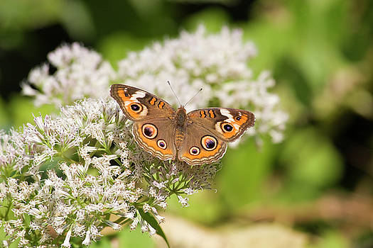 Jill Lang - Common Buckeye Butterfly