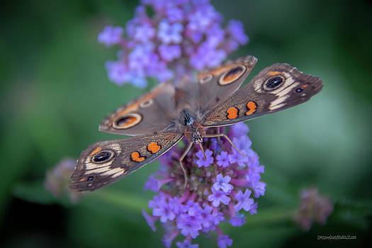 Common Buckeye Butterfly by LeeAnn McLaneGoetz McLaneGoetzStudioLLCcom