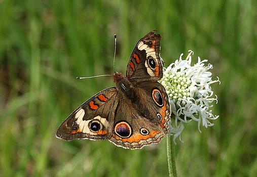 Common Buckeye Butterfly on Wildflower by Sheila Brown