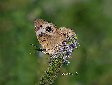 Common Buckeye by Diane Giurco