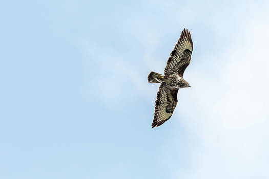 Darren Wilkes - Common Buzzard