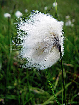 Common Cottongrass Seed-head by Rod Johnson