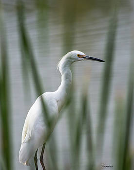 Allen Sheffield - Common Egret