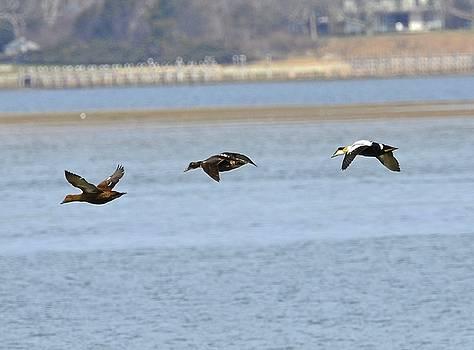 Common Eiders in Flight by Lorelei Galardi