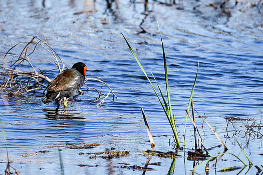 Common Gallinule by Gary Wightman