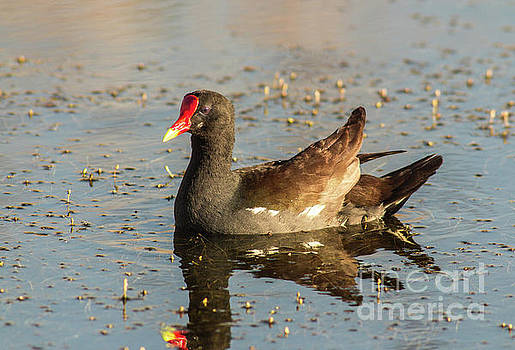 Common Gallinule by Robert Frederick