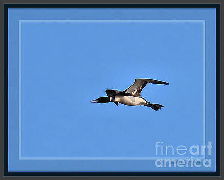 Sandra Huston - Common Loon Flying Overhead, Framed