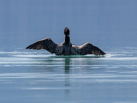 Dee Carpenter - Common Loon Stretching