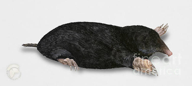 Common mole Talpa europaea by Urft Valley Art