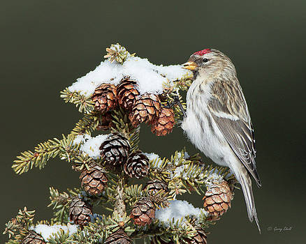 Common Redpoll by Gerry Sibell