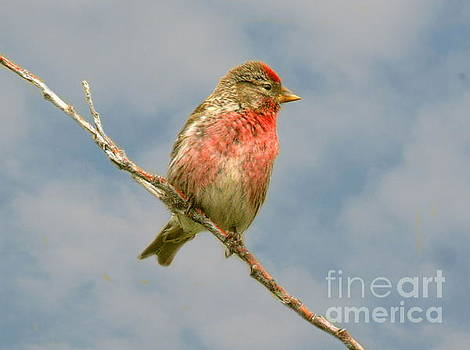Common Redpoll Perched by Myrna Bradshaw