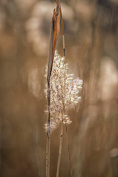 Common reed stems at sunset by Dennis Clark