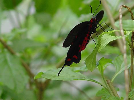 Common Rose Butterfly by Reni Boisvert