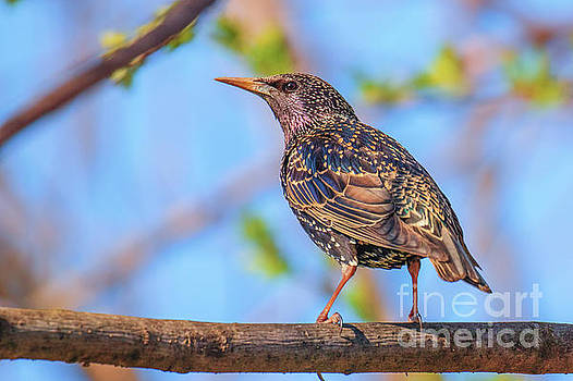 Common starling - Sturnus vulgaris by Jivko Nakev