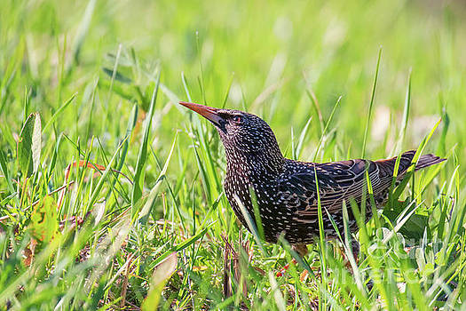 Common starling Sturnus vulgaris South Park, Sofia by Jivko Nakev