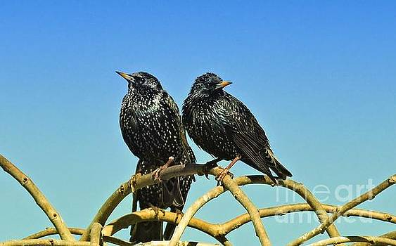 Common Starlings  by Elaine Manley