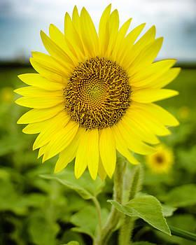Chris Coffee - Common Sunflower