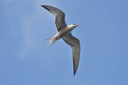 Common Tern by Gerald Hiam