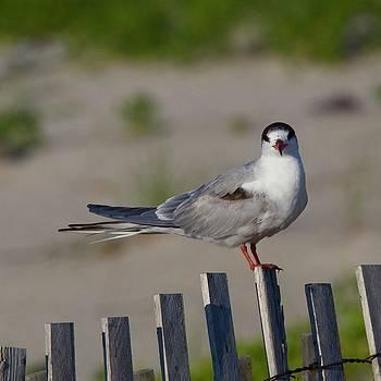 Common Tern by John Kearns