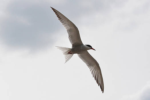 Common Tern - wings by Asbed Iskedjian