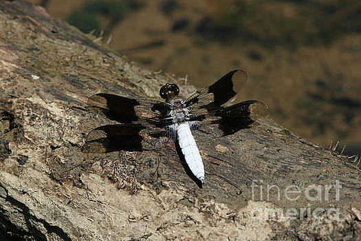 Common Whitetail Skimmer Dragonfly by Judy Whitton