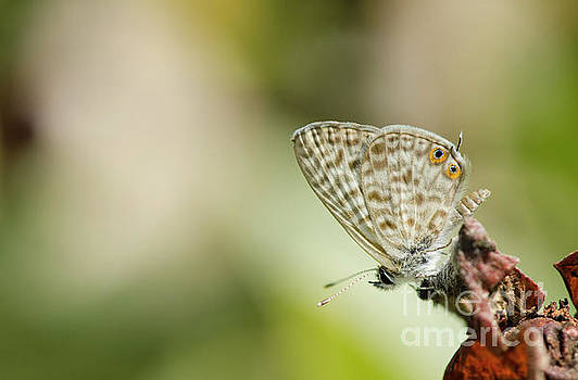 Common Zebra Blue Butterfly Resting by Perry Van Munster