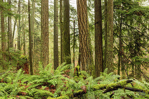 Comox Valley Forest-4 by Claude Dalley