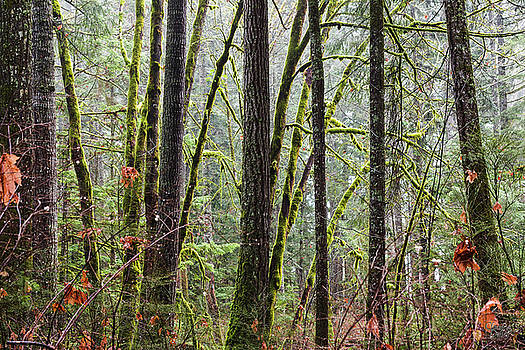 Comox Valley Forest-1 by Claude Dalley