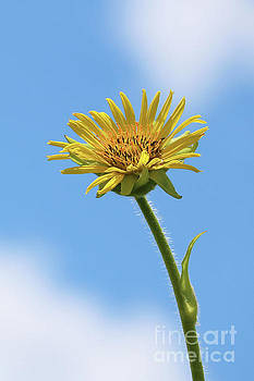 Compass Plant by Anita Oakley