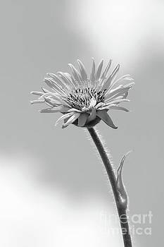 Compass Plant - Monochrome by Anita Oakley