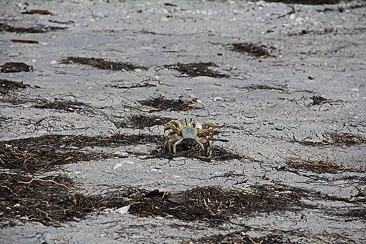 Competing Crabs by Michiale Schneider