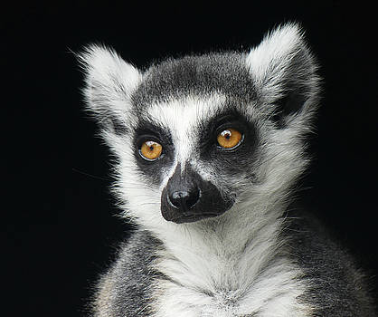 Concentrating Ring-tailed Lemur by Margaret Saheed