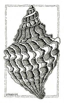 Conch Shell 2 by Stephanie Troxell