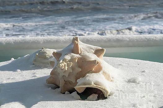 Conch Shell in Snow by Carol Bilodeau