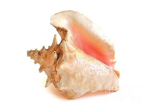 Conch Shell by Susan Wall