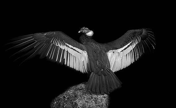 Darren Wilkes - Condor