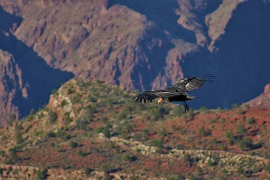 Condor in the Canyon by Eirik Gumeny