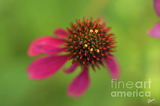 Cone Flower by Alana Ranney