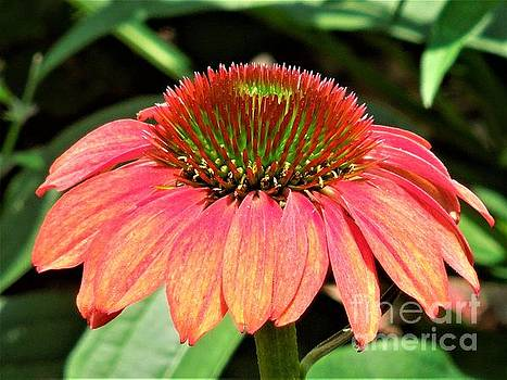 Cone Flower by Chad and Stacey Hall