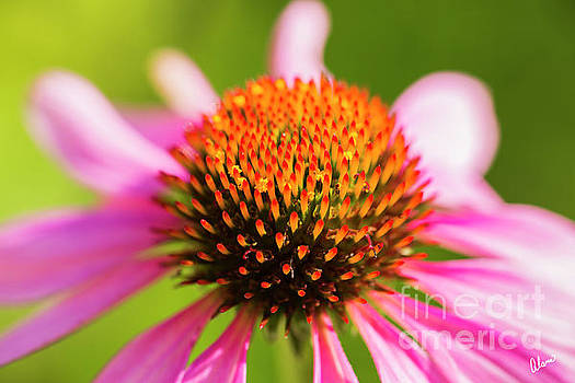 Cone Flower Close up by Alana Ranney