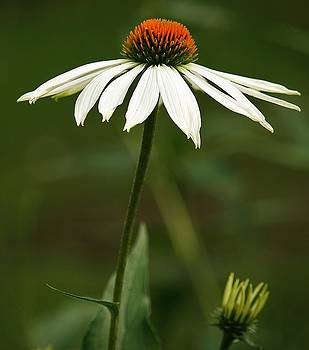 Cone Flower Delight by Al Fritz