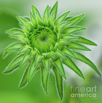 Cone Flower Macro by Dale Powell