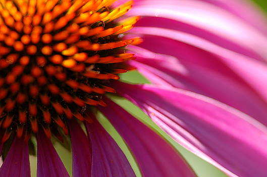 Cone Flower by Scott Gould