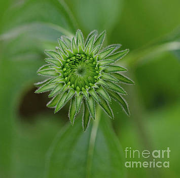 Cone Flower Spring Blooming Process by Dale Powell