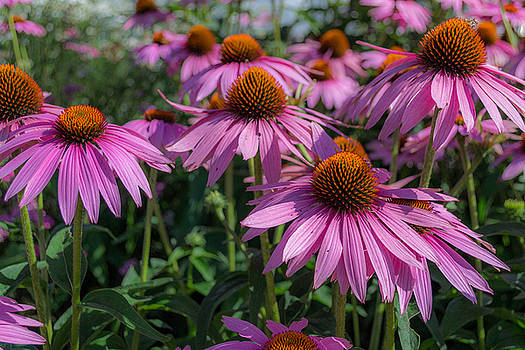 Cone Flowers by Ashleigh Mowers